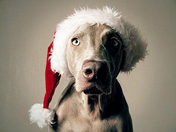 Pies świąteczny